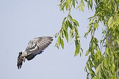 Pigeon's Approaching to Tree( ) (Johnnie Shene Photography(Thanks, 800k+)) Tags: wild colour macro tree bird nature birds animal animals horizontal canon lens outdoors photography eos rebel living fly flying wings kiss stream image zoom outdoor pigeon wildlife pigeons birding flight wing sigma images apo approach flapping 70300mm flights flap flick dg approaching 456 t3i x5 70300 organism cheonggyecheon fragility 600d  f456