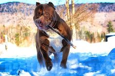 """Biggest Pitbull in the world: """"Hulk"""" lives up to his name"""
