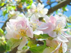 Apple Blossoms by Baslee Troutman