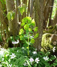 """Plants for trees. One of our favorite plants at the base of a tree is Euphorbia """"Mrs Robb's bonnet' with woodland anemones at its feet.  Both thrive in dry shade. Add to this list: fern, hosta, or white-flowered Vinca minor 'Gertrude Jekyll'"""