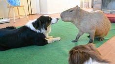 Capybara meets Dog http://ift.tt/2p4gxbw