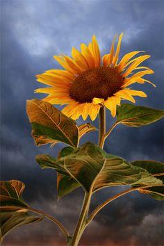 sunflower+at+sunset+by+Floriandra.deviantart.com+on+@deviantART