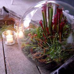 """Terror-ium"" carnivorous plant terrarium - sundew, pitcher plants, and venus fly traps ♥"