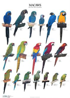 The macaws are a colorful group of parrots mostly found in Central and South America. The long tails of these beautiful birds are among their distinguishing characteristics. Parrot Pet, Parrot Bird, Exotic Birds, Colorful Birds, African Lovebirds, Animals And Pets, Cute Animals, Amazon Parrot, Bird Types