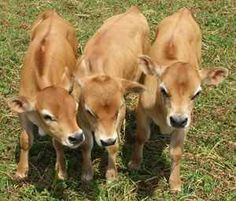 Baby Jersey's  #DairyCow #Milk #Jersey