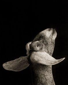 Dramatic Black-and-White Studio Portraits of Goats and Sheep. Amazing Animals, Animals Beautiful, Black And White Portraits, Black And White Photography, Farm Animals, Cute Animals, Goat Farming, Tier Fotos, Livestock