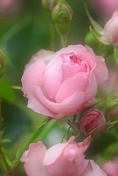**Soft pink roses ♥