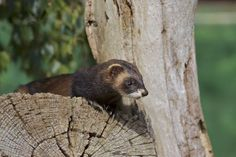 Polecat Photo by Clive Spires -- National Geographic Your Shot European Polecat, Cute Ferrets, Shot Photo, National Geographic Photos, Your Shot, Shutter Speed, Amazing Photography, Photo Editing, Shots