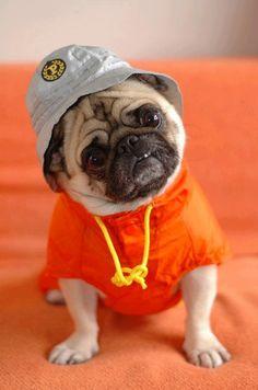 LL Cool Pug #puginvasion