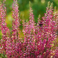 Growing Heaths And Heathers Heather Flower Autumn Garden Planting Shrubs