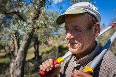 Apadrina un olivo centenario