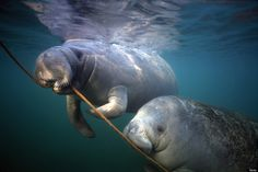 Manatee - Just Remember To Follow the Rope To  Top to Get Breath Of Air.  It's That Simple