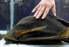 A Dull-Eyed Royal Pleco, more than 60cm in length, is estimated more than 60 years old, according to its owner. The 2012 Taiwan International Aquarium Expo.