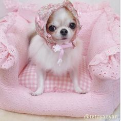 Chihuahua Care - 5 Important Issues Every Owner Should Know - Dog Pets Zone Chihuahua Puppies, Cute Puppies, Cute Dogs, Teacup Chihuahua, Cute Baby Animals, Funny Animals, Animals Dog, Dog Pictures, Animal Pictures