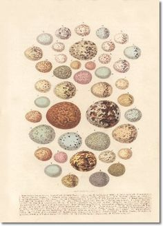 Old-school book plate of egg types.  Heading out to find something similar for some Easter-time crafts!