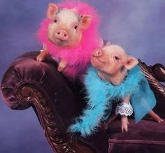 Possible fundraiser for Rikkis -- pig beauty contest. Pay entry fee to dress up one of Rikki's pigs and then people vote with their dollars. @rikkisrefuge.org