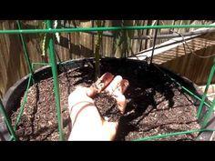 Growing Marijuana In Your Backyard - Outdoor Marijuana Grow - YouTube