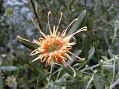 Grevillea Apricot Glow.  Australian native plant in Adelaide, also grows well in WA, Lullfitz Nurseries in Wanneroo have these