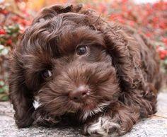 Wally the Cute Cockapoo Puppy
