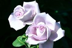 """Blue Moon, One of the first lavender-blue hybrid tea roses. Long pointed buds open into beautiful, fully double blooms that are blessed with intense fragrance. Bred from 'Sterling Silver.'  Petals 35, Bloom 4"""""""