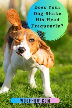 Various Factors Can Cause Your Dog To Shake His Head Excessively. It May Indeed Be A Particular Characteristic Of The Latter Or A Symptom Of A Condition Or Disease. Always Seek The Advice Of The Veterinarian When Observing Different Behavior. #Does #Your #Dog #Shake #His #Head #Frequently? Dog Shaking, Factors, Shake, Behavior, Corgi, Advice, Animals, Behance, Smoothie