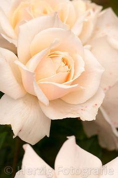 """Rosa """"Edelweiß"""" - Rose"""