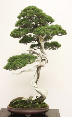 Bonsai styles are different ways of training your bonsai to grow the way you want it to. Get acquainted with these styles which are the basis of bonsai art. Red Maple Bonsai, Juniper Bonsai, Ikebana, Cotoneaster Bonsai, Art Floral Japonais, Japanese Red Maple, Japanese Art, Bonsai Tree Tattoos, Miniature Trees