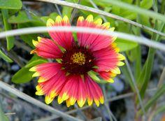 Wild Indian Blanket Flower
