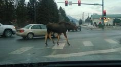 One of the locals...at least he's using the crosswalk