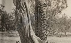 Aboriginal Culture, Aboriginal People, Aboriginal Art, Australian Aboriginal History, Tree Carving, Big Tree, Tree Designs, Sacred Art, Land Art