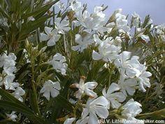 laureldeflor-neriumoleander2