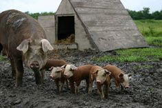 A sow and her pigs on a family farm in southern Iowa.