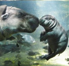 Mamma hippo and baby. Adorable!