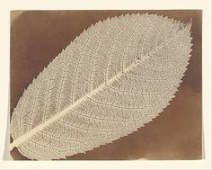 [Leaf] William Henry Fox Talbot (British, 1800–1877)  Date:     ca. 1839 Medium:     Photogenic drawing Classification:     Photographs Cred...