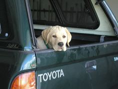 Toyota loving lab.
