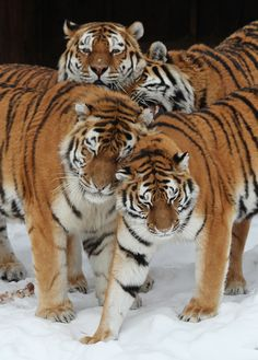 Tiger Fact: A male Tiger will let the female & cubs eat first when they are all present at a kill. (Unlike a Lion! by Tomas Öhberg. Tiger Pictures, Animal Pictures, Tiger Images, Big Cats, Cool Cats, Beautiful Cats, Animals Beautiful, Animal Original, Animals And Pets
