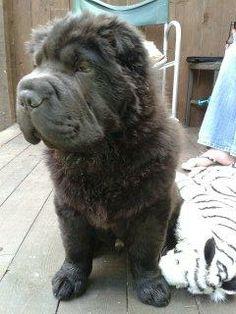 Black Bear Coat
