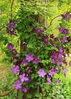C. 'Victoria' and 'Etoile Violette' climbing up a large pine tree