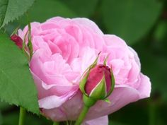 Rosa Mary Rose (stamroos) - stam 90 cm hoog  Rosa 'Mary Rose', een doorbloeiende Engelse roos met roze bloemen met losse bloemblaadjes en een lichte geur. Zeer betrouwbare tuinplant. De geur heeft een vleugje honing en amandelbloesem. Rosa 'Mary Rose' bloeit vanaf juli tot in augustus. Rosa 'Mary Rose' staat graag op een zonnige plek.
