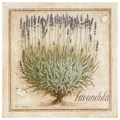 Lavandula Print by Vincent Jeannerot at AllPosters.com
