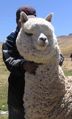 An amazing white male alpaca selected in Peru