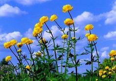 Kullero, kukka kuin Helinäkeiju
