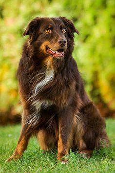 Australian shepherd. fossekall:  twix by msnessix