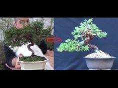 Alambrando con cobre - junipero itoigawa shohin 3ª parte y final - YouTube