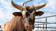 Professional Bull Riders - Moreno still believes in Bushwacker. June 8, 2015. Even seven months since Bushwacker's retirement from the PBR, owner Julio Moreno still thinks his bovine athlete has what it takes to be the best and beat out the top competition.