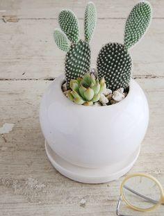 .succulent cactus