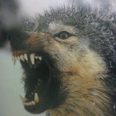 Wolves... this is how i felt wednesday afternoon and thursday morning C:
