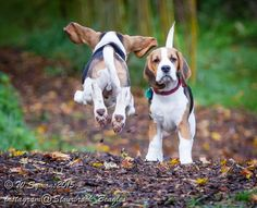 Beagle enthusiasm!