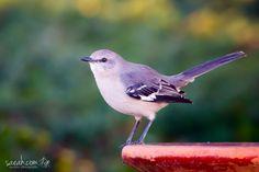Northern Mockingbird (Mimus polyglottos) Enterprise, AL, USA
