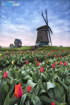 Holland #windmill and Tulips is the best of the #Netherlands - http://dennisharper.lnf.com/